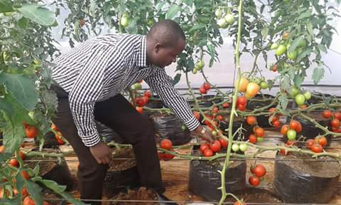 A field officer inspecting green house tomatoes, on which YaraMila Winner fertiliser was applied. The fertiliser triples vegetable yields.