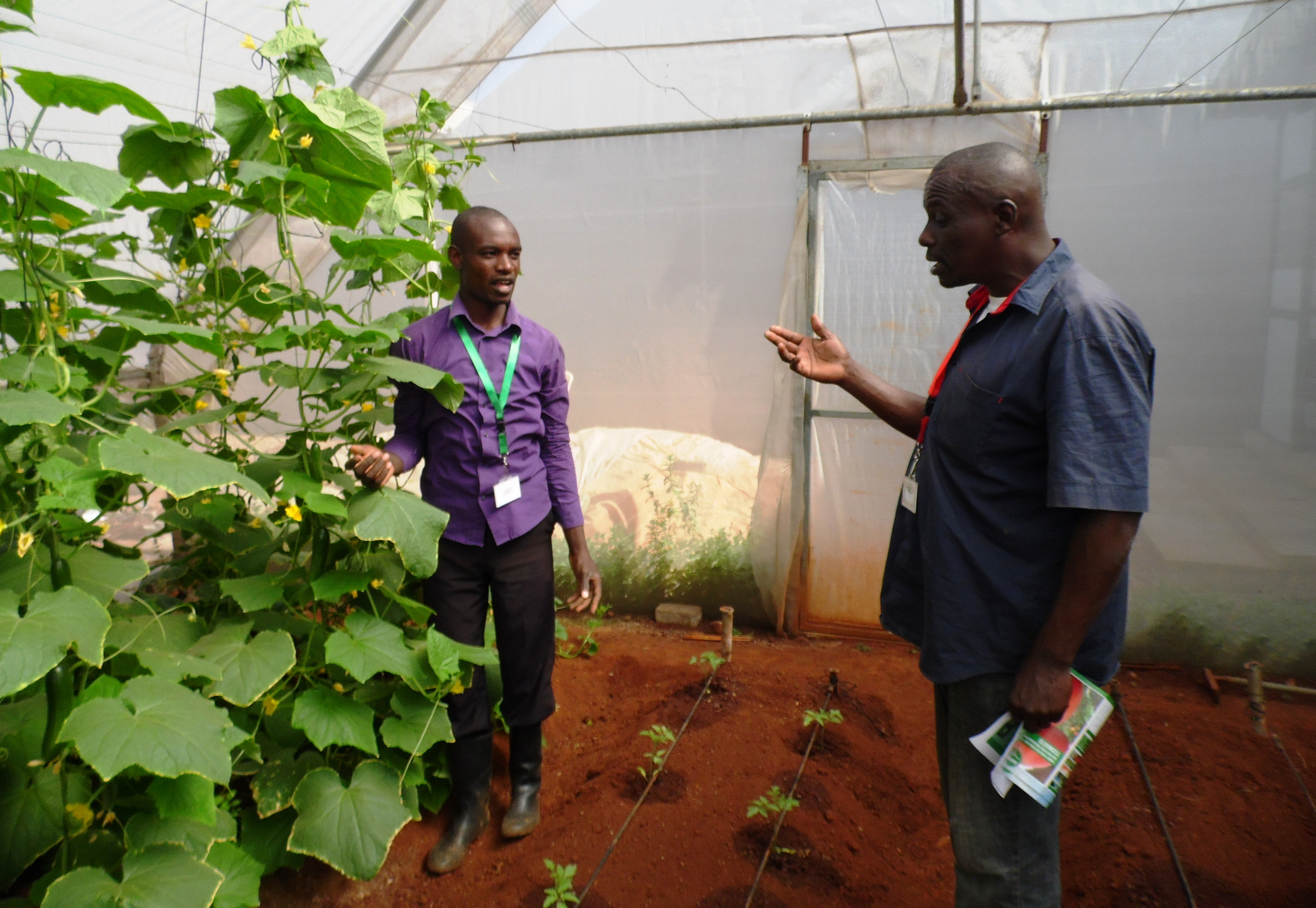 Agronomist Wycliffe Obwoge answering Gabriel Njoroge on how to raise cucumbers. Accidental tomato growing saved the farmer from Sh300,000 poultry loss. PHOTO: LABAN ROBERT.