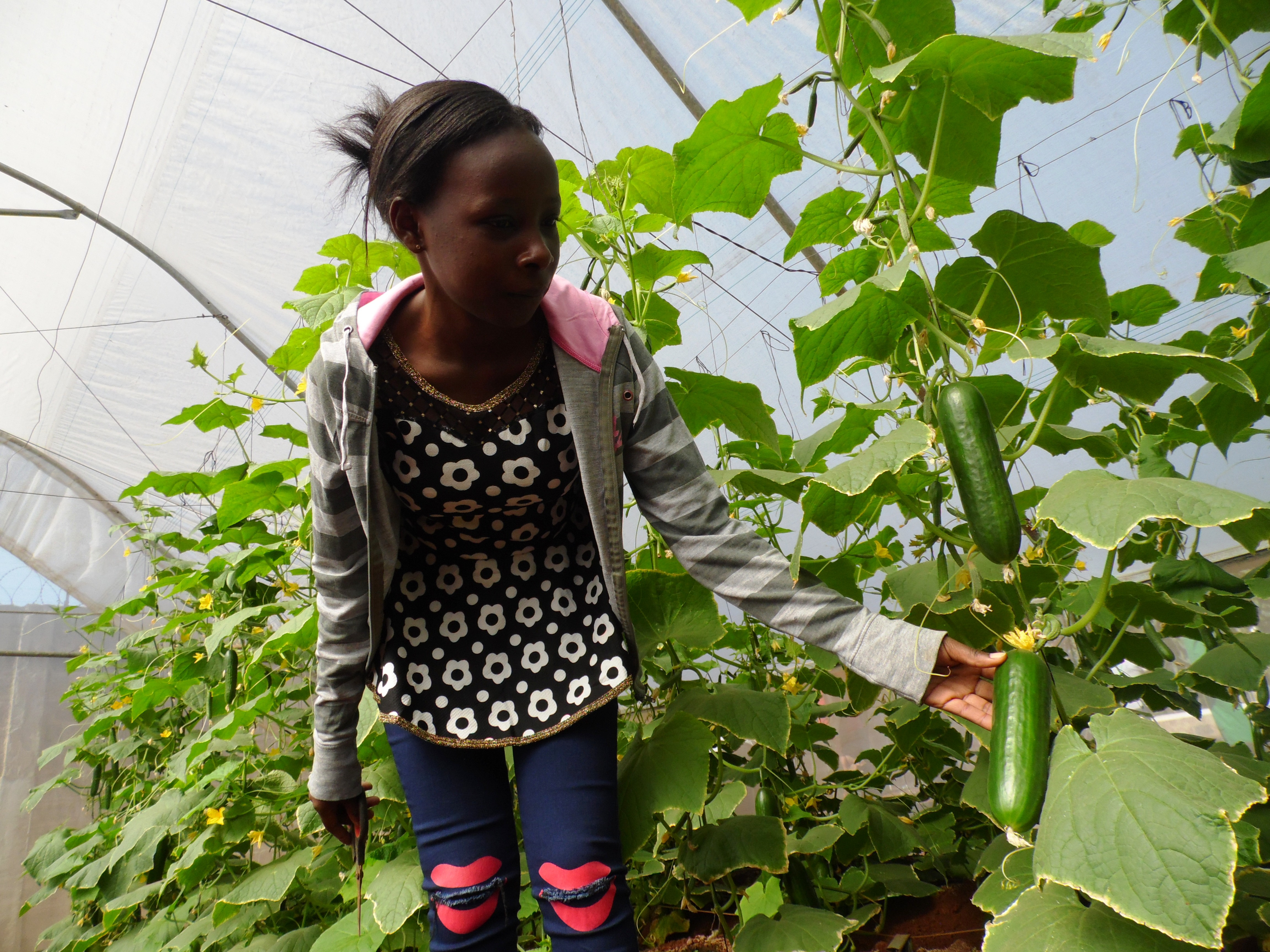 Kate Nyaboke of Amiran Kenya prunes cucumbers in a greenhouse. Gabriel Njoroge, a Kimbu County cucumber farmer decided to look for market before growing the crop to cut losses after harvest. PHOTO: LABAN ROBERT.