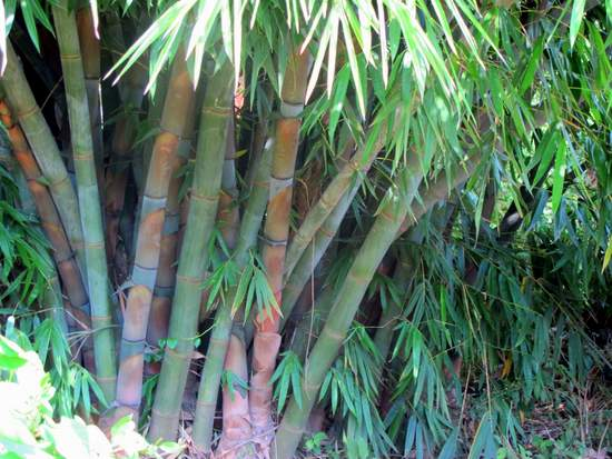 A Giant Bamboo plant on the edge of River Njoro in Nakuru Kenya