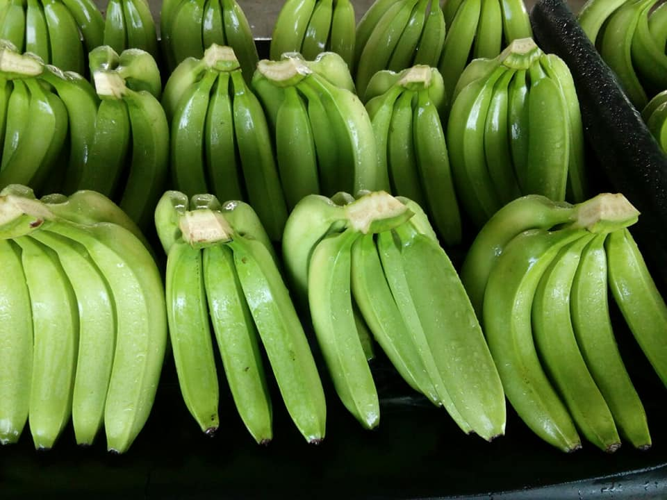 Cavendish bananas for export