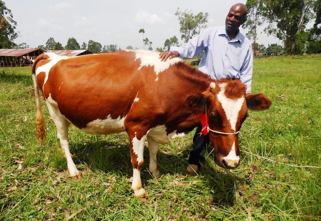 Cow Isaack Shilaro kkmga By Laban Robert.JPG