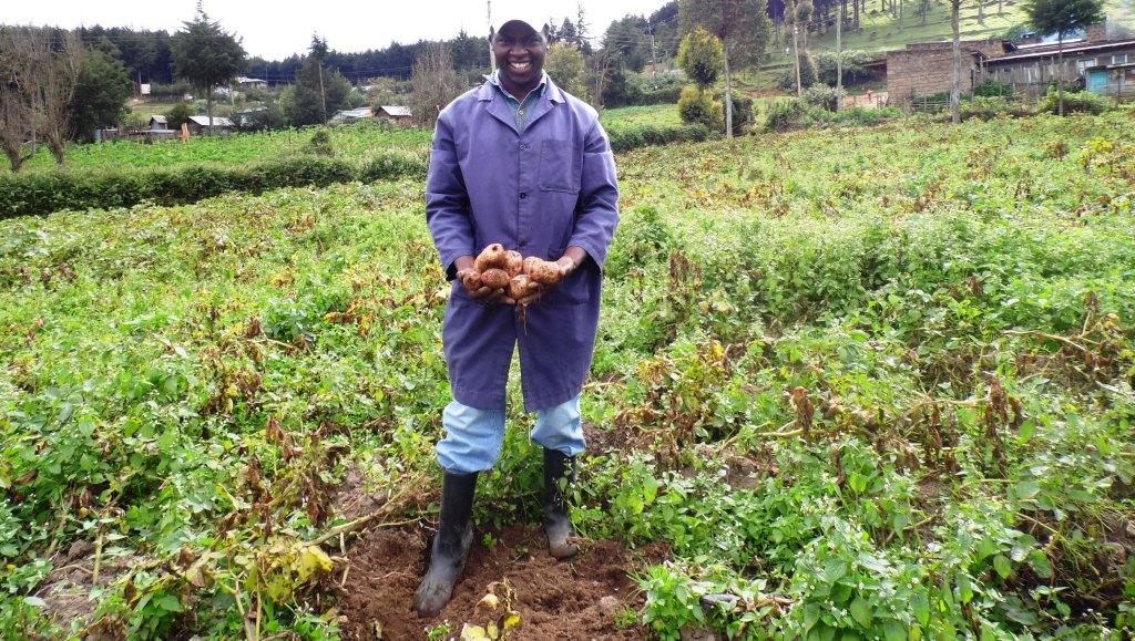 Irish potato harvesting Patrick Njenga Kiambu By Laban Robert.JPG