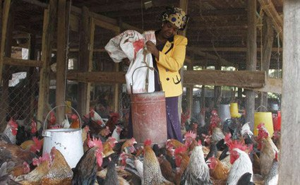 MARGARET FEEDING CHICKEN-THIKA.jpg