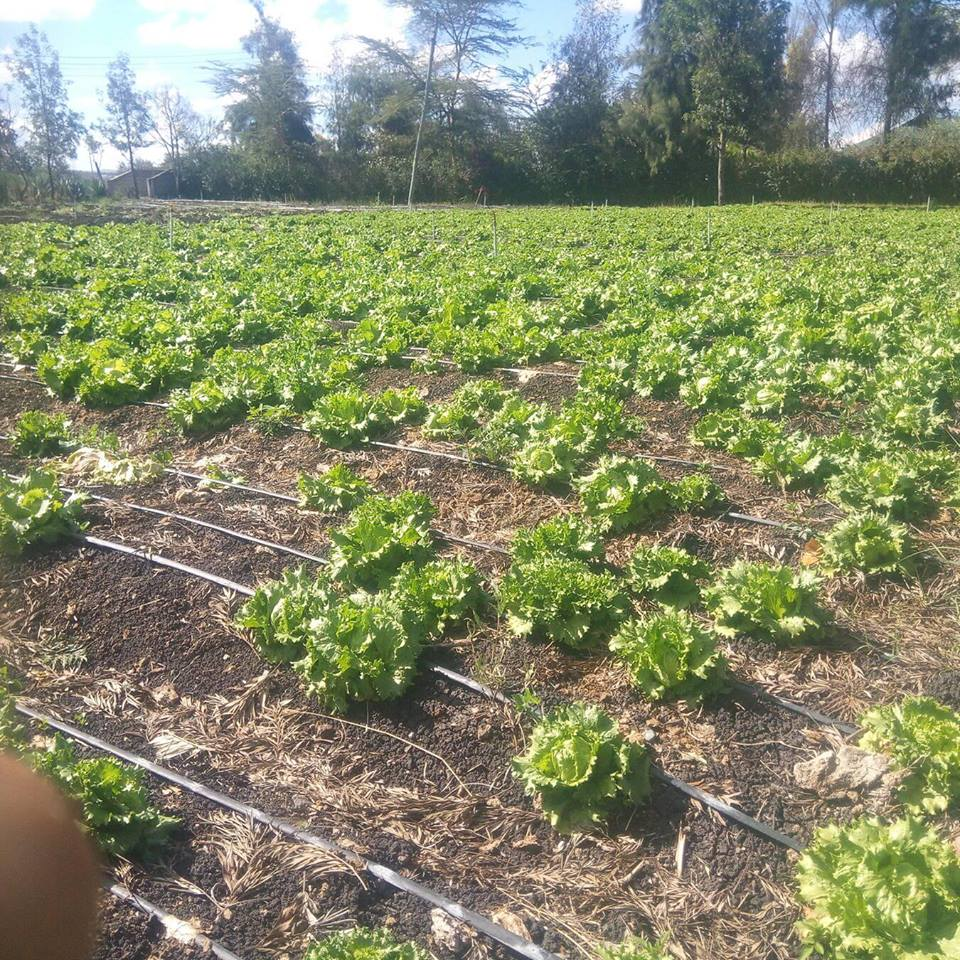 Mathews lettuce farm