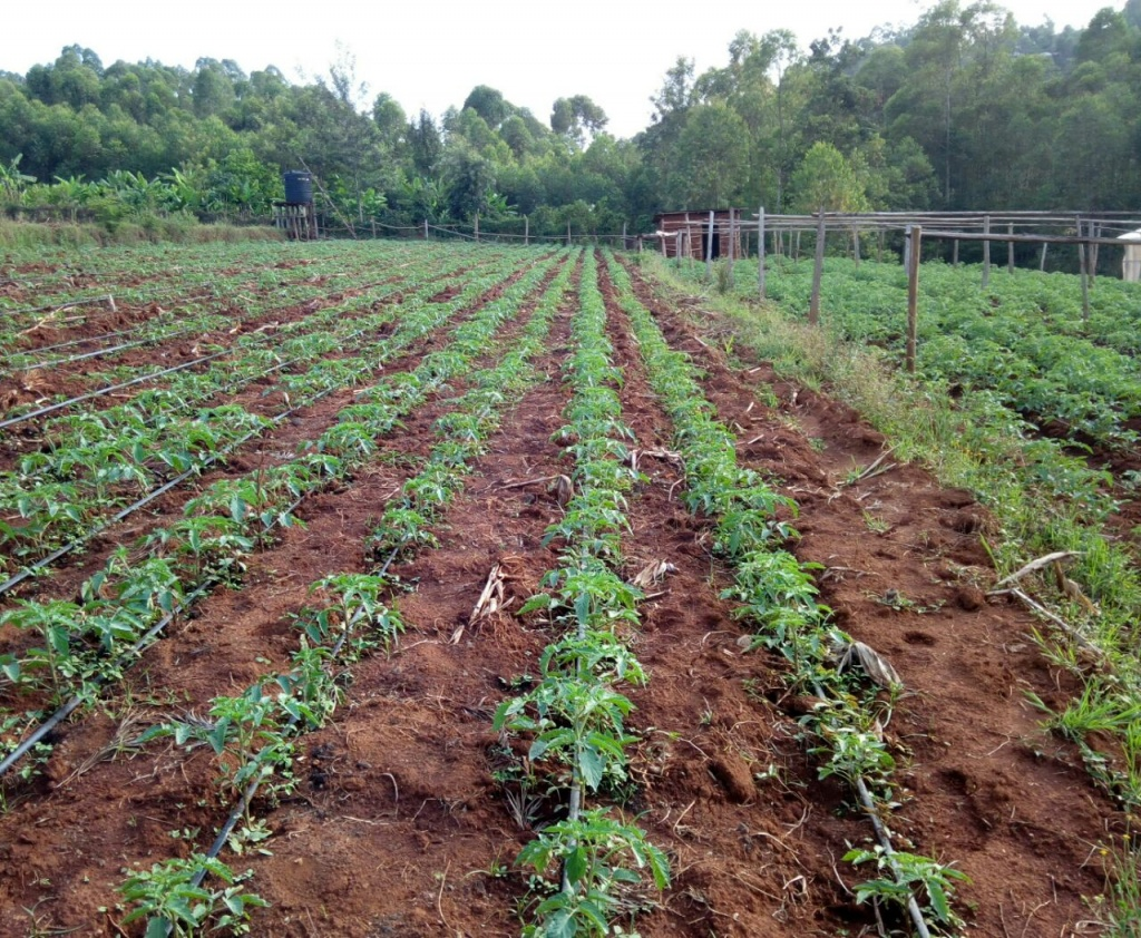 Off season: Kisii farmers earn Sh750,000 a month on tomato cultivation