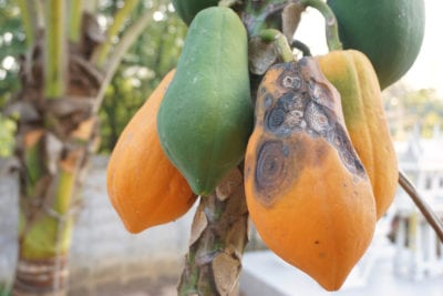 PAPAYA pawpaw ANTHRACNOSE disease