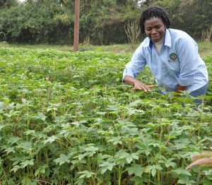 Prof. Abukutsa tends to sagaa at a demostration farm at JKUAT 300x262