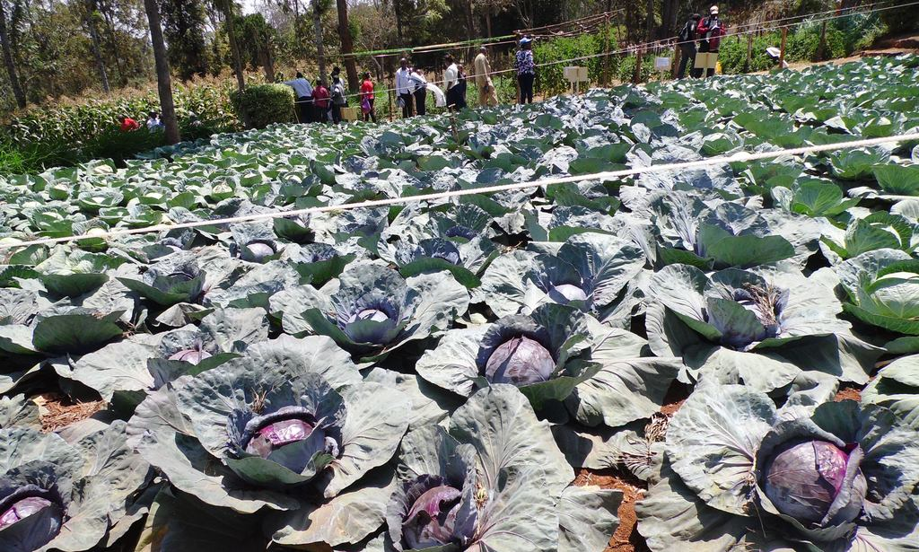 Red cabbage Nyeri, ASK By Laban Robert.JPG