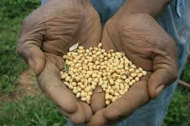 Soy beans by Daily Nation.jpg