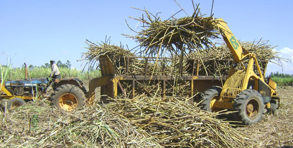 Sugarcane Farming in Kenya