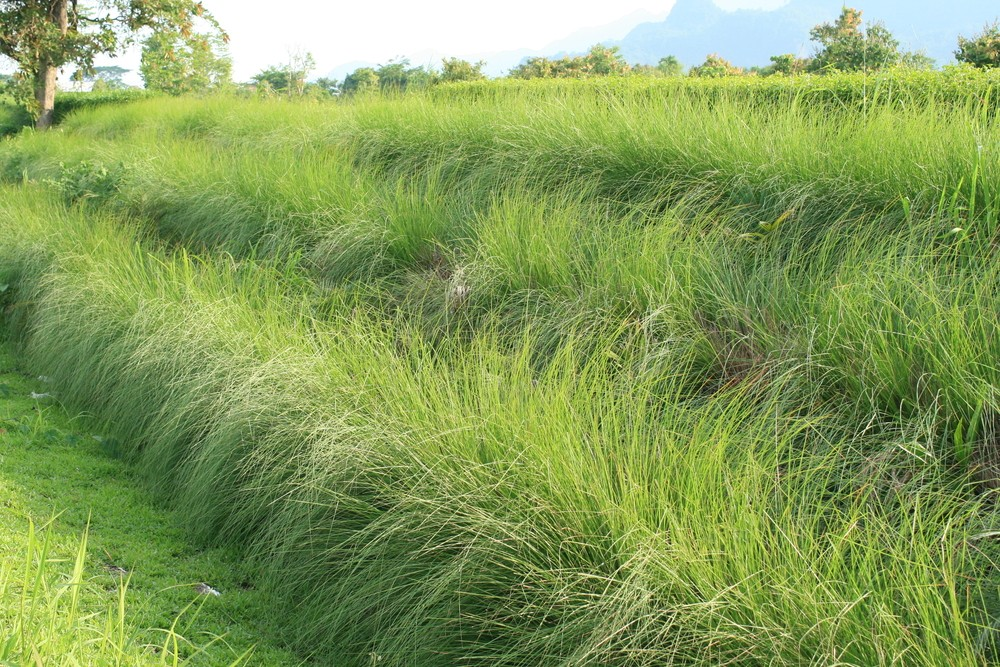 Vetiver grass.jpg
