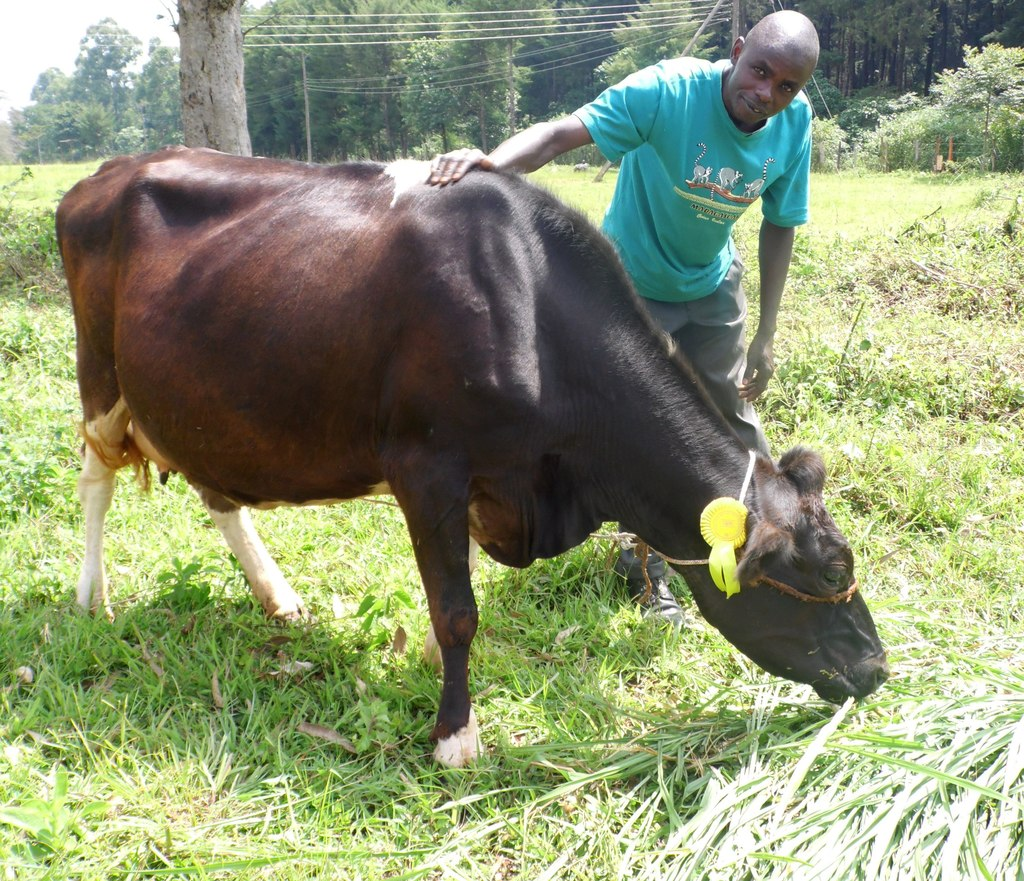 Wycliffe Ochango feeding his hybrid cow during the Kakamega County show on June 17, 2016. PHOTO BY LABAN ROBERT..jpg