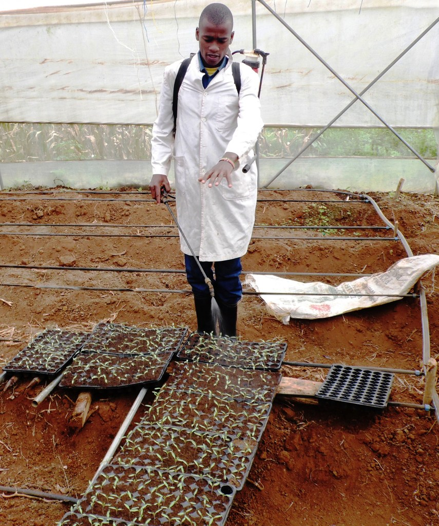 Nathan Mala, a Kiambu County agripreneur sprays tomato seedlings. Equity is offering loans of up to Sh3million to farmers. PHOTO: LABAN ROBERT.