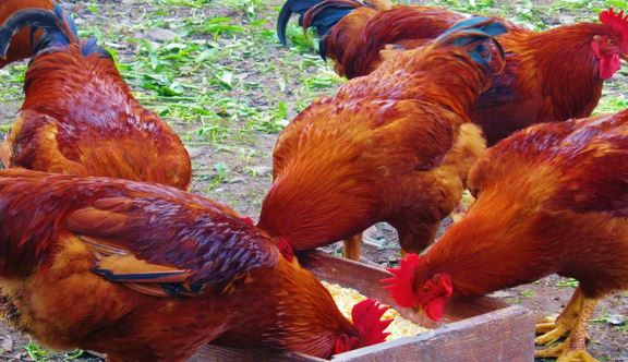 Chicken Poultry