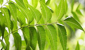 farmers using neem tree to fight pests