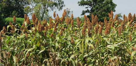 KEPHIS launches drought resistant and fast maturing crops in