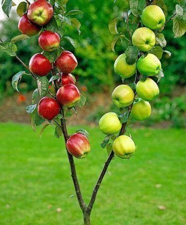 grafted apples.jpg