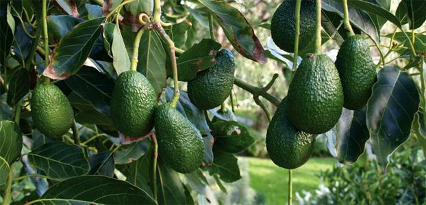 hass and fuerte avocado ban.jpg
