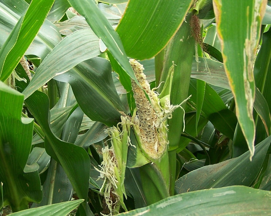 maize eaten by birds.jpg