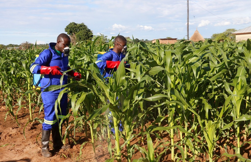 maize spraying