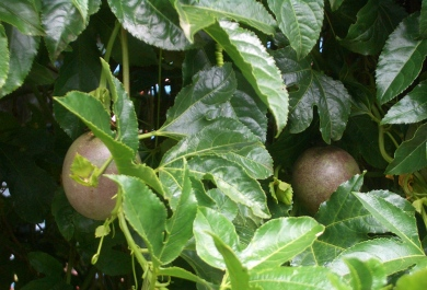 E0200-Stratford-passion-fruit-on-the-vine