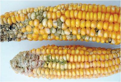 aflatoxin infested maize
