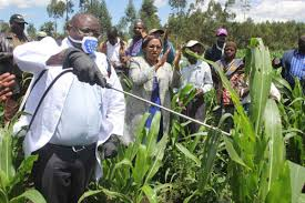 pesticide on maize
