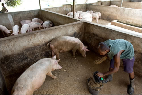 How Two Pigs Can Give You Close To Sh1 Million In One Year