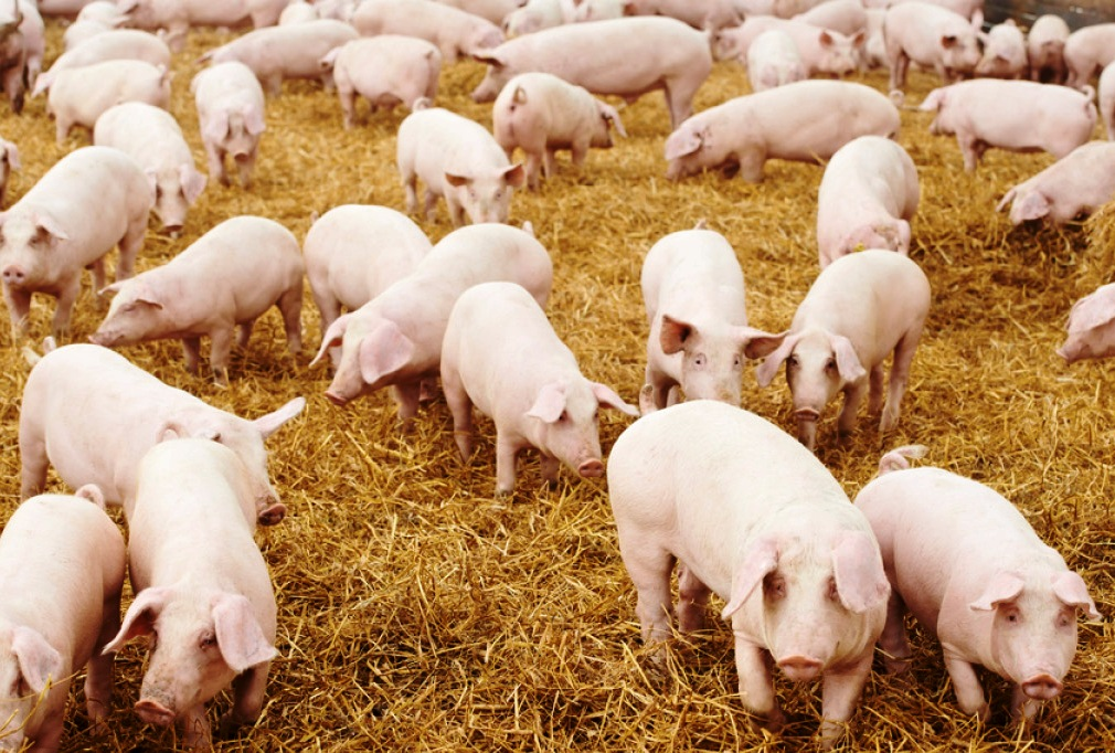 pigs-photo by OxfordWords blog..jpg