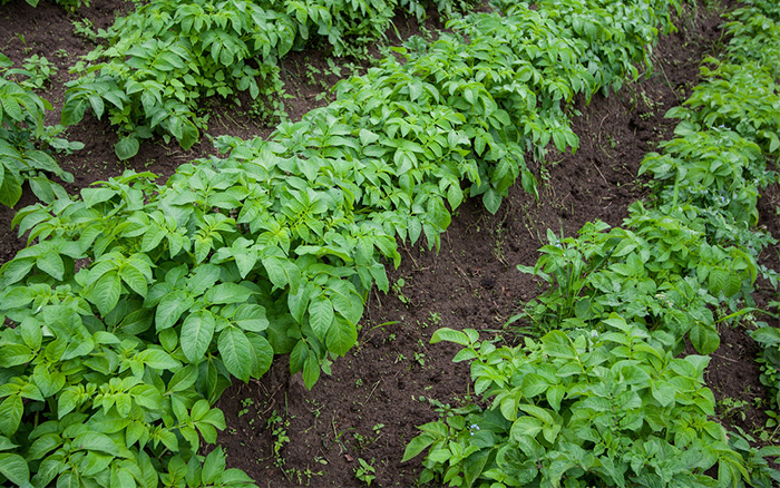 potato plants in rows how to grow a veg plot