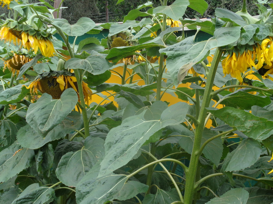 New sunflower and soyabeans market opens up for Kenyan farmers
