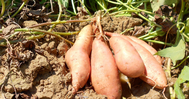 sweet-potato-farming-in-kenya.jpg