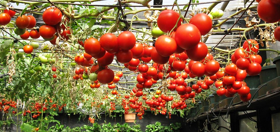 tomatoes grown hydropnically.jpg
