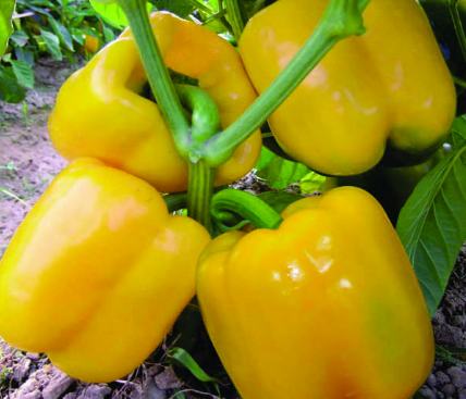 yellowcapsicum-sakuraseed.com